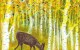 Deer Grazing in a Grove of Golden Aspen Trees Carolyn Almendarez